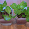 3 week summercrisp, splasher vs. passive-hydroponic coir-growstones