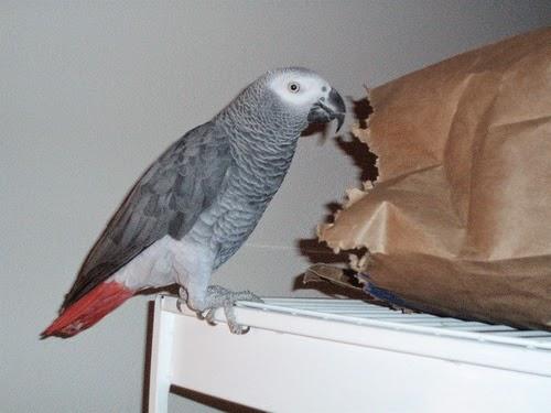 peanut-parrot-africangrey-8012316-l.jpg