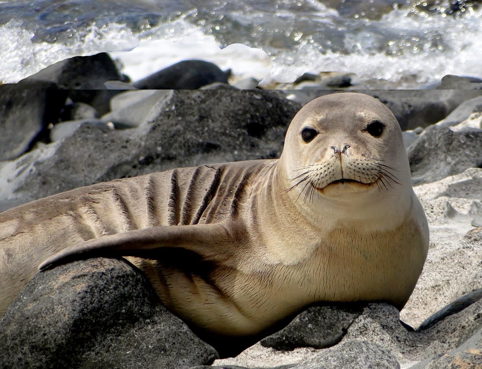 Hawaiian Monk Seal | Wild Life World