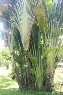 Manfaat Pisang Kipas (Ravenala Madagascariensis Sonn)