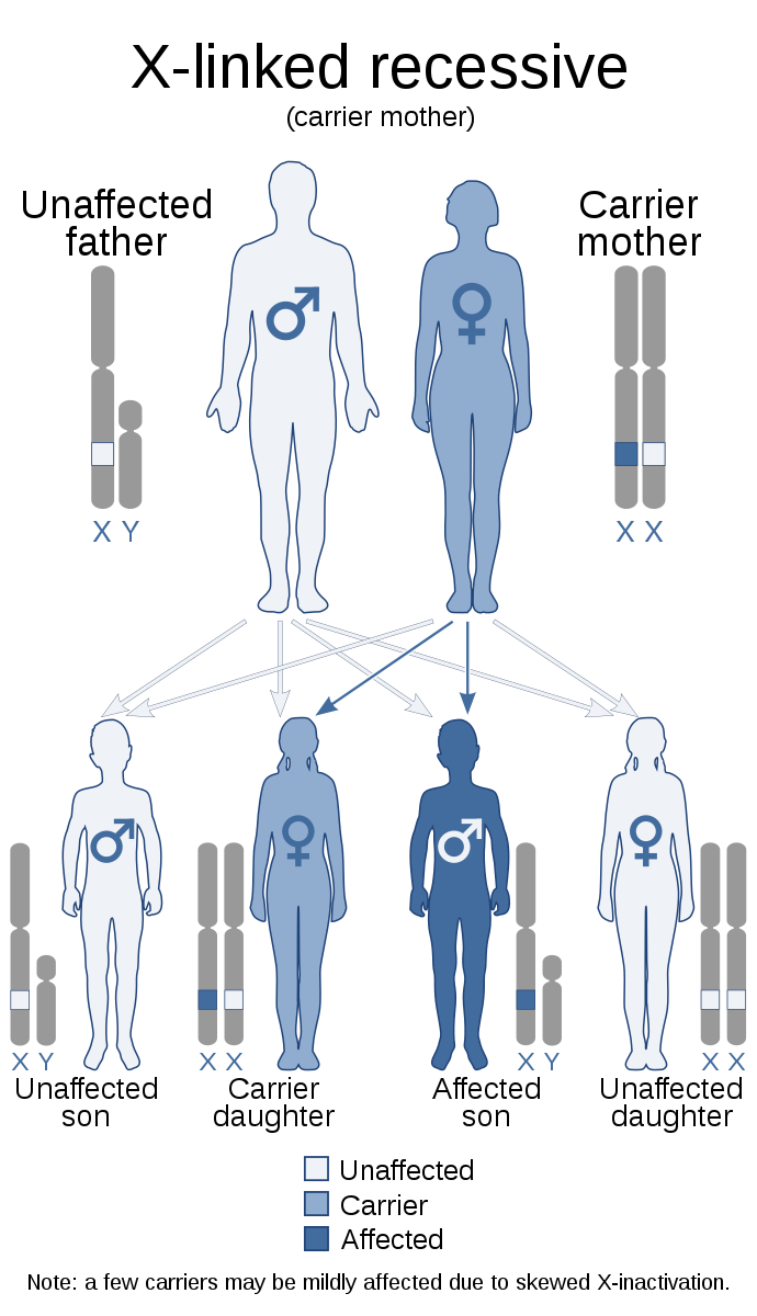 X-linked recessive inheritance scenarios for the mother being a carrier
