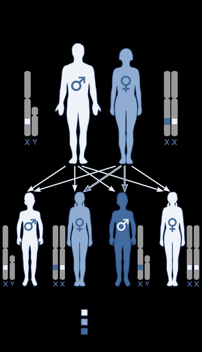 سيناريوهات الوراثة المتنحية المرتبطة بـ X لكون الأم حاملة