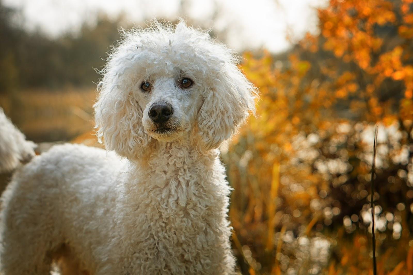 best dog breeds poodle