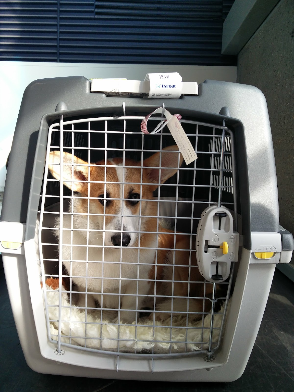corgi in IATA transport cage with an air transat seal