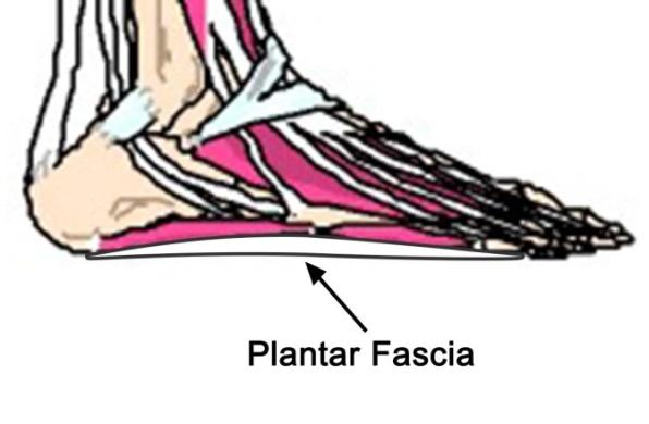 C:\Users\user\Desktop\PTAG Foot and Ankle course\PTAG Course images\plantar fascia.jpg