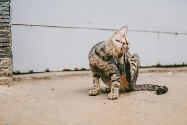 Cat scratching its fur