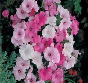 http://s3-eu-west-1.amazonaws.com/seeds-plants-gardening/product-images/op/z/433_1.jpg