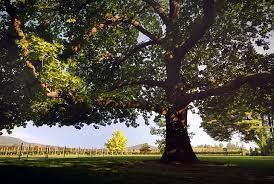 Image result for shady tree