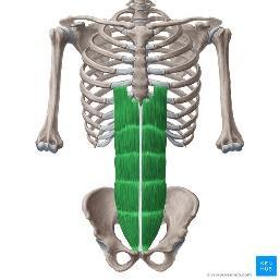 Rectus abdominis: Origin, insertion, innervation,function | Kenhub