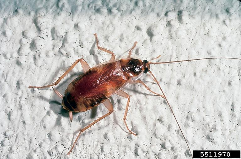 Brown Banded Cockroach