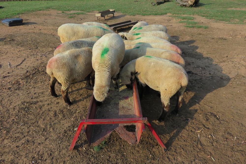 As ovelhas devem ter pasto disponível e receber suplementação em cochos. (Fonte: Shutterstock)