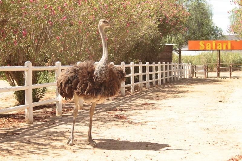 Oudsthoorn-ostrich-red-kenya.jpg