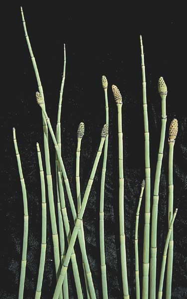 Horsetail or scouring rush fertile stems with terminal spore caps