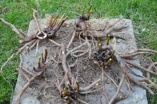 Деление корневища для посадки пионов