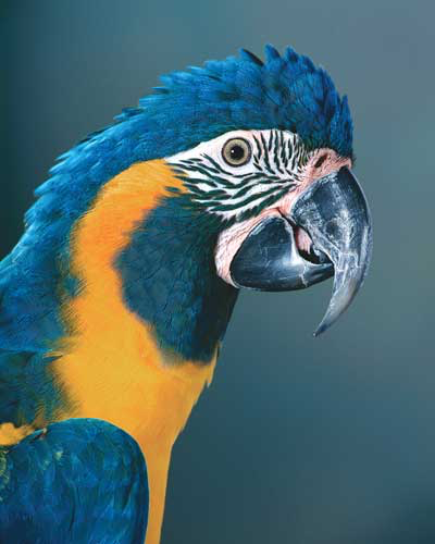 The caninde macaw is smaller than the blue and gold macaw and is rarely seen in captivity