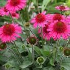 https://www.vitroflora.pl/img/produkty/rosliny/_137X137/byliny-i-trawy_double-short_74262_2.jpg