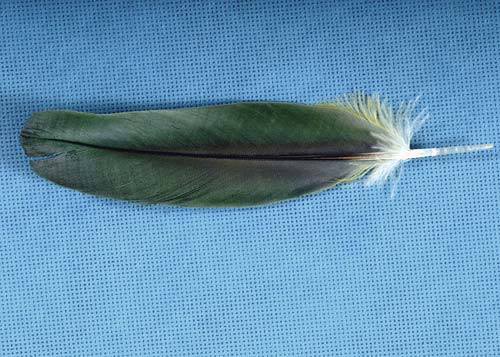 Healthy feathers are flexible with uniform color and structure