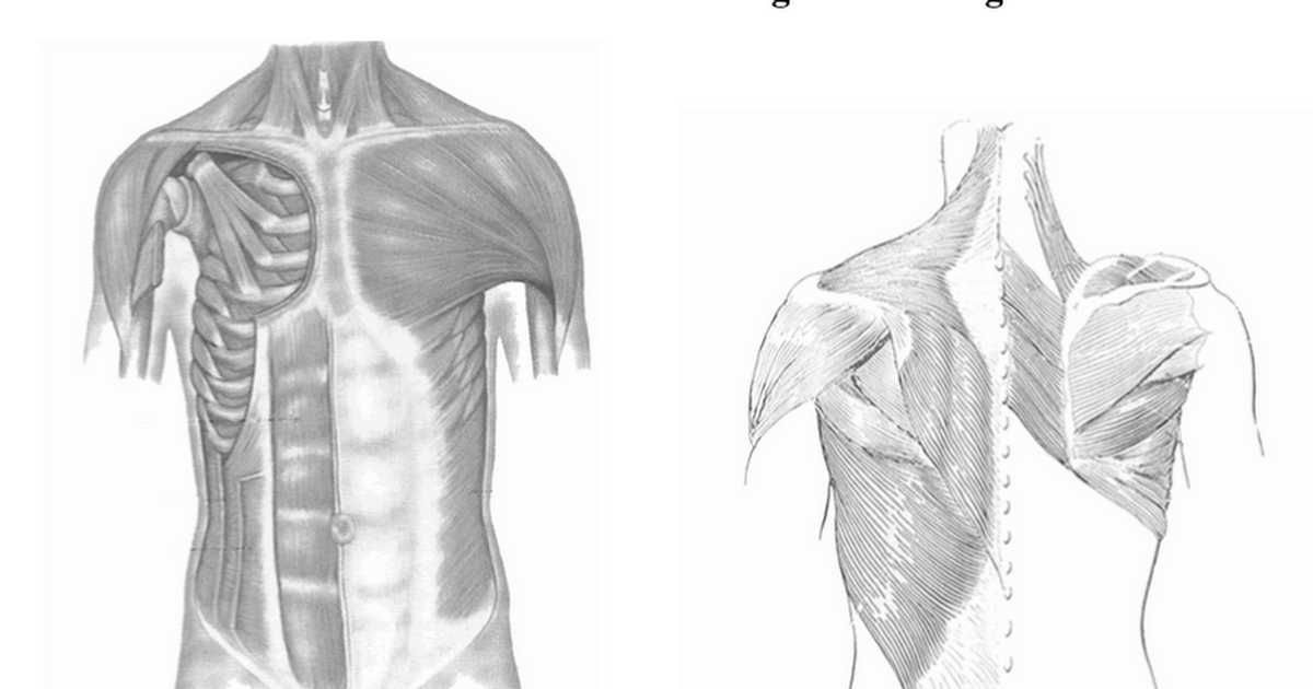 Muscles of the Thoracic Region Labeling - Google Docs