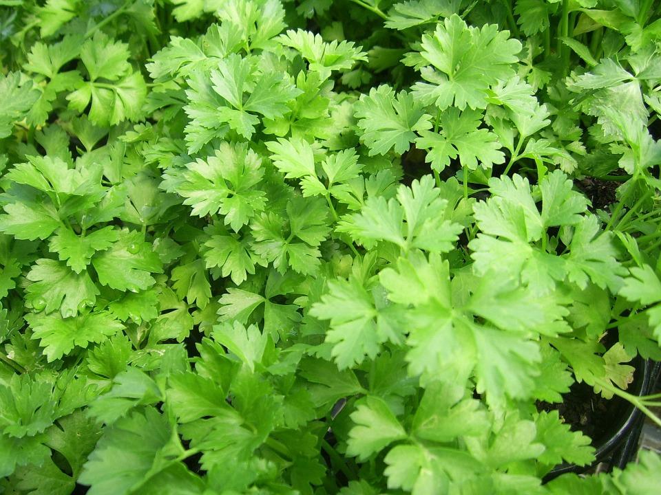 parsley-164165_960_720.jpg