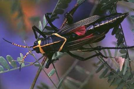 http://drkaae.com/InsectCivilization/assets/Chapter_11_Walkingstick_Grasshoppers_and_Others_files/image013.jpg