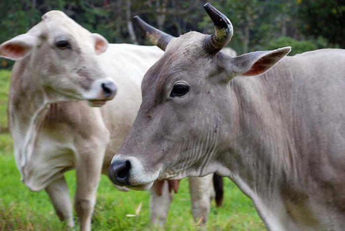En Pozuzo se hace exposición y venta de ganado