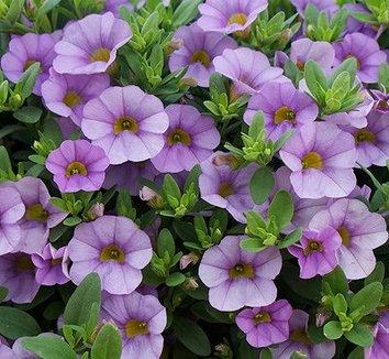 Image result for calibrachoa miss lilac