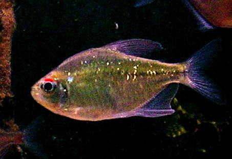 File:Diamond tetra.JPG