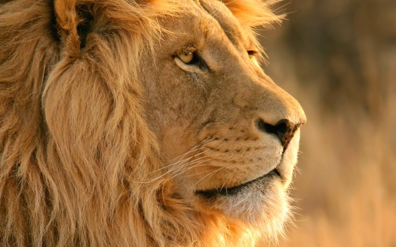 lion-1680x1050.jpg