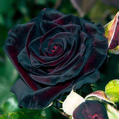 Особенности выращивания сорта розы «Блэк Баккара»