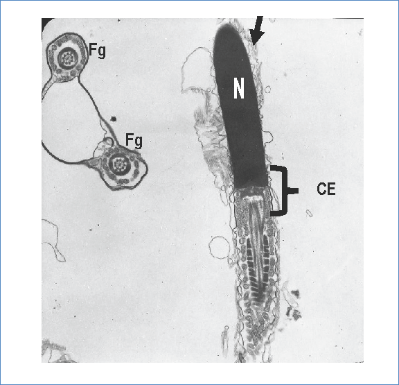 Electronic photomicrography of transmission. The arrow marks a thin, electron-dense, irregular plasma membrane that extends to the middle part. The elongated and electron-dense nucleus (N). The sperm neck (CE). General contrast technique with uranyl acetate and lead citrate. Zoom in 12 000x.