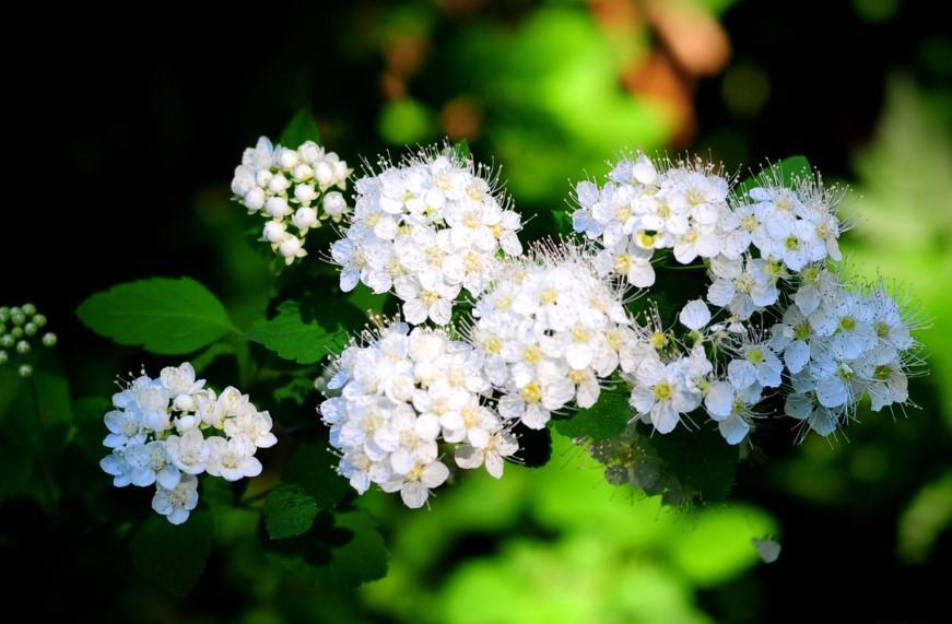 Цветы Спиреи Вангутты