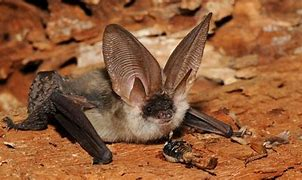 Image result for long eared bat