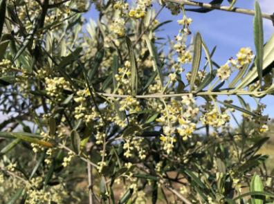 Olivo en floración. ESAO PAO 4.0 Programa