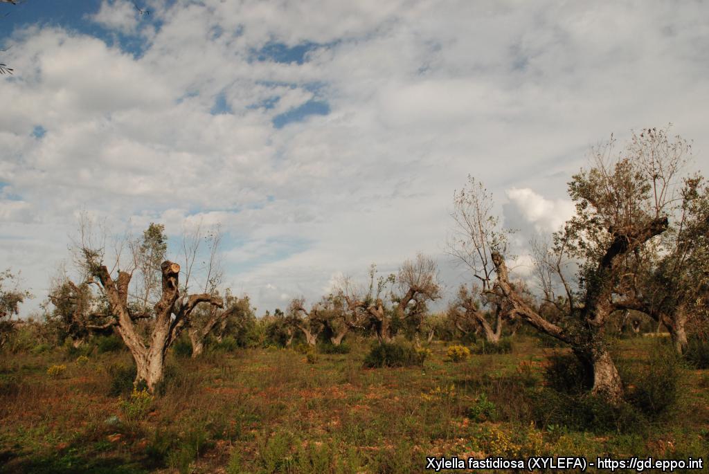 Campo com árvores que sofreram com o OQDS (Declínio Rápido das Oliveiras)