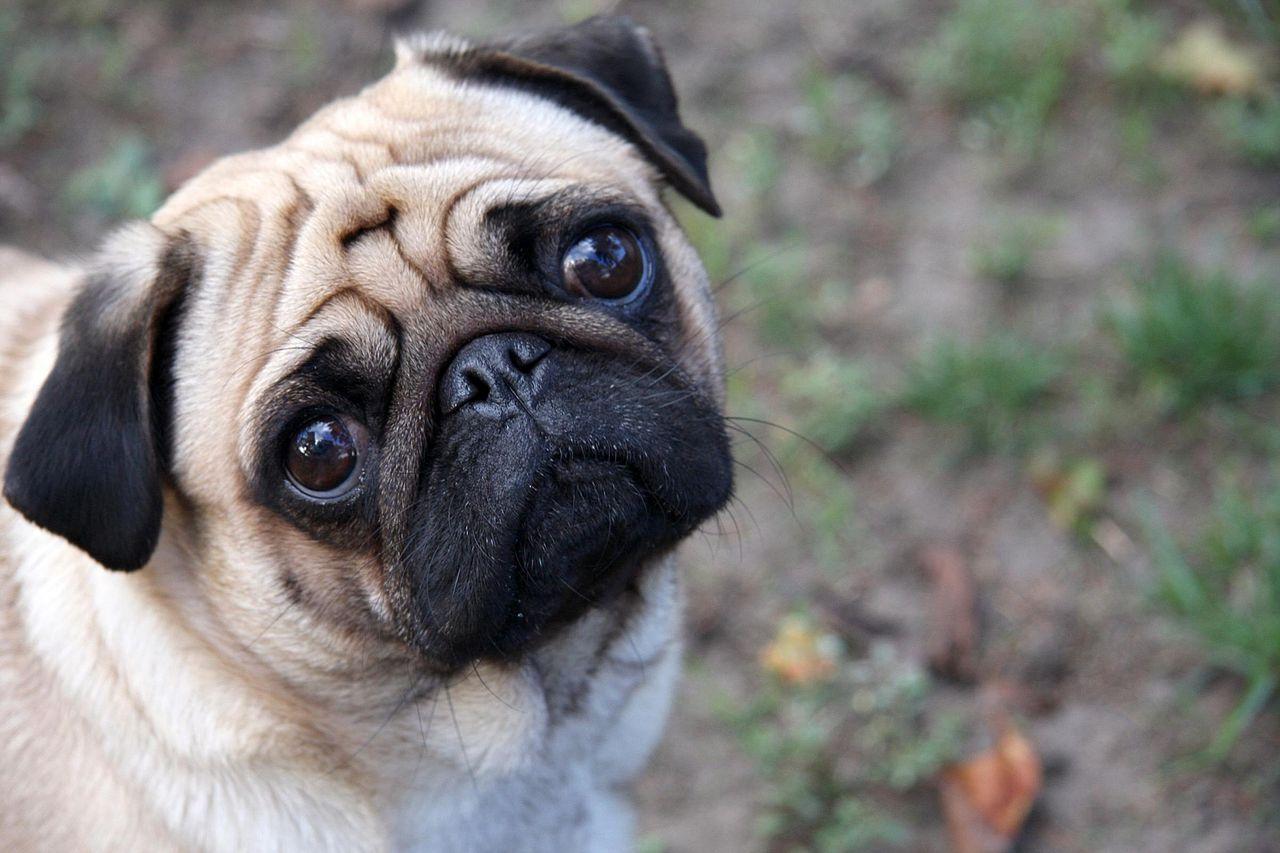 Do Pugs Smell?
