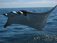 Description: Mobula sp - wiki.jpg