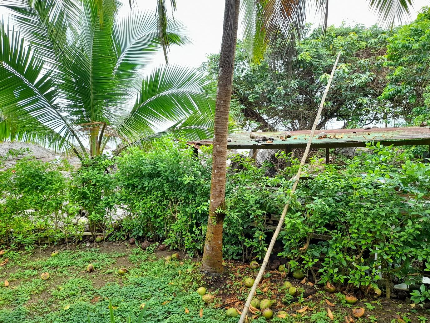 how to harvest coconut with a pole