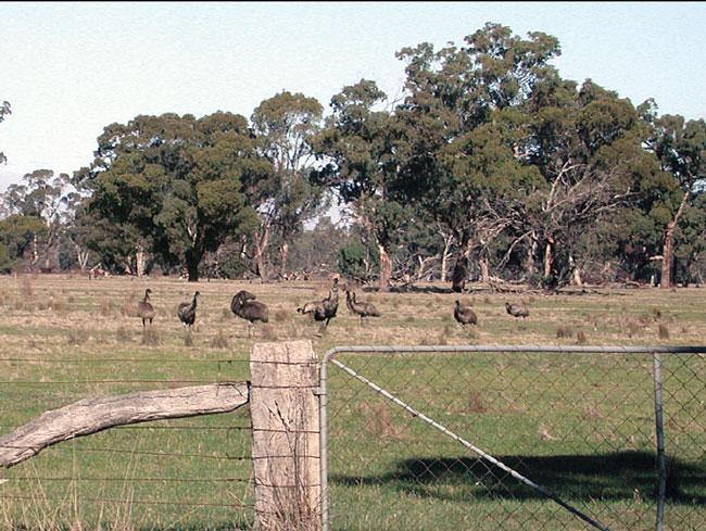Free-ranging emus in Australia