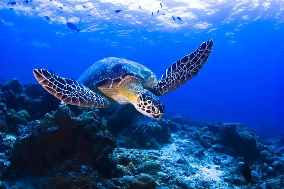 沙巴潛水必做的必定是和海龜暢泳