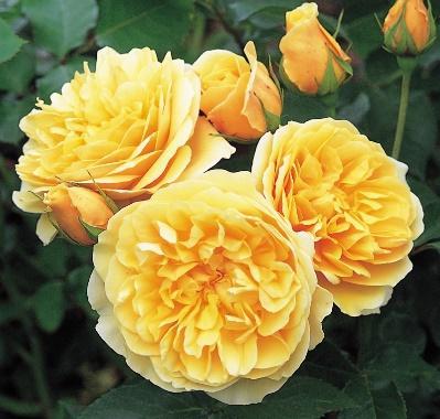 Rose GRAHAM THOMAS Ausmas