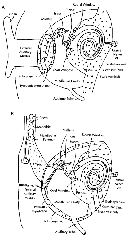 Diagram of the ear in a generalized mammal (A) and a cetacean (B). Pinnipeds and sirenians have auditory systems similar to A.