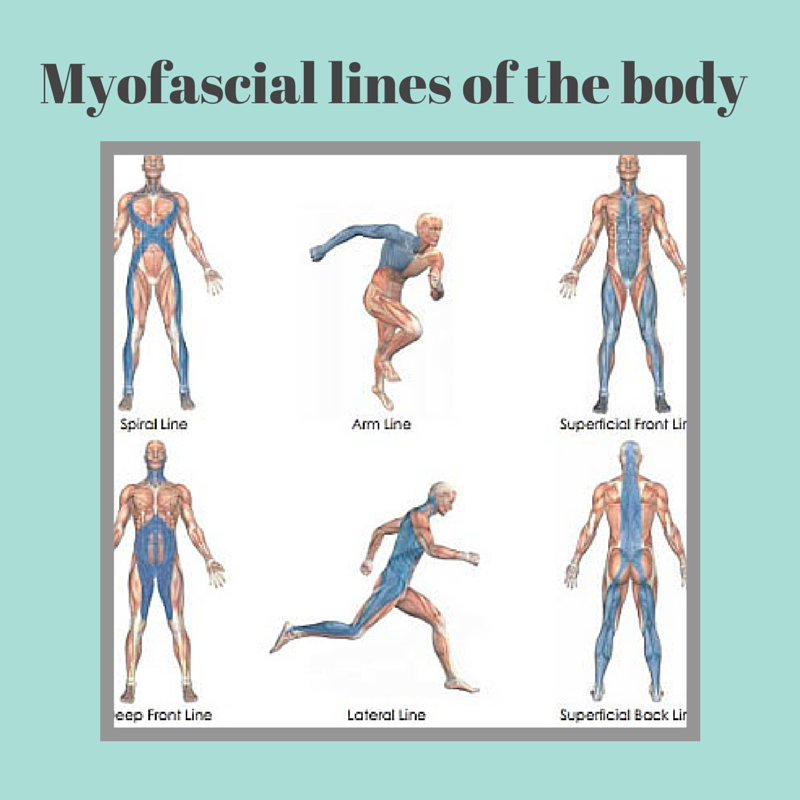 Myofascial lines of the body.png