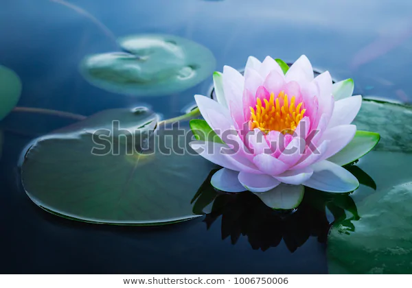 a stunning pink, yellow and green water lily on the surface of a pond