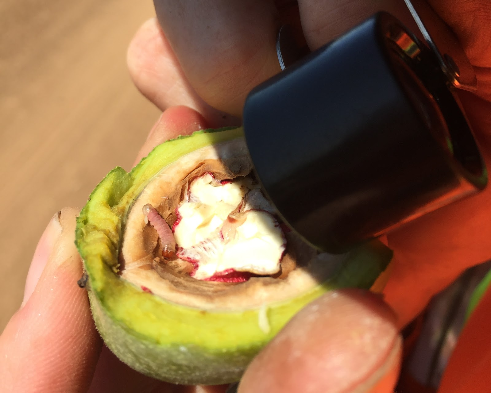 Grower uses a hand lens to observe a codling moth caterpillar burrowing out of a walnut.