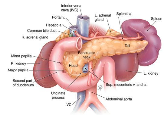 Human Biology Online Lab     Pancreas    Anatomy and Function