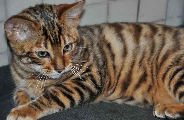 Коты породы Тойгер в обзоре породы и характеристик