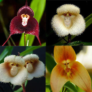 Image result for monkey orchid