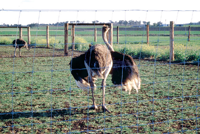 """A mature ostrich hen shows reproductive behavior by opening her wings and making a soft """"cluck"""""""