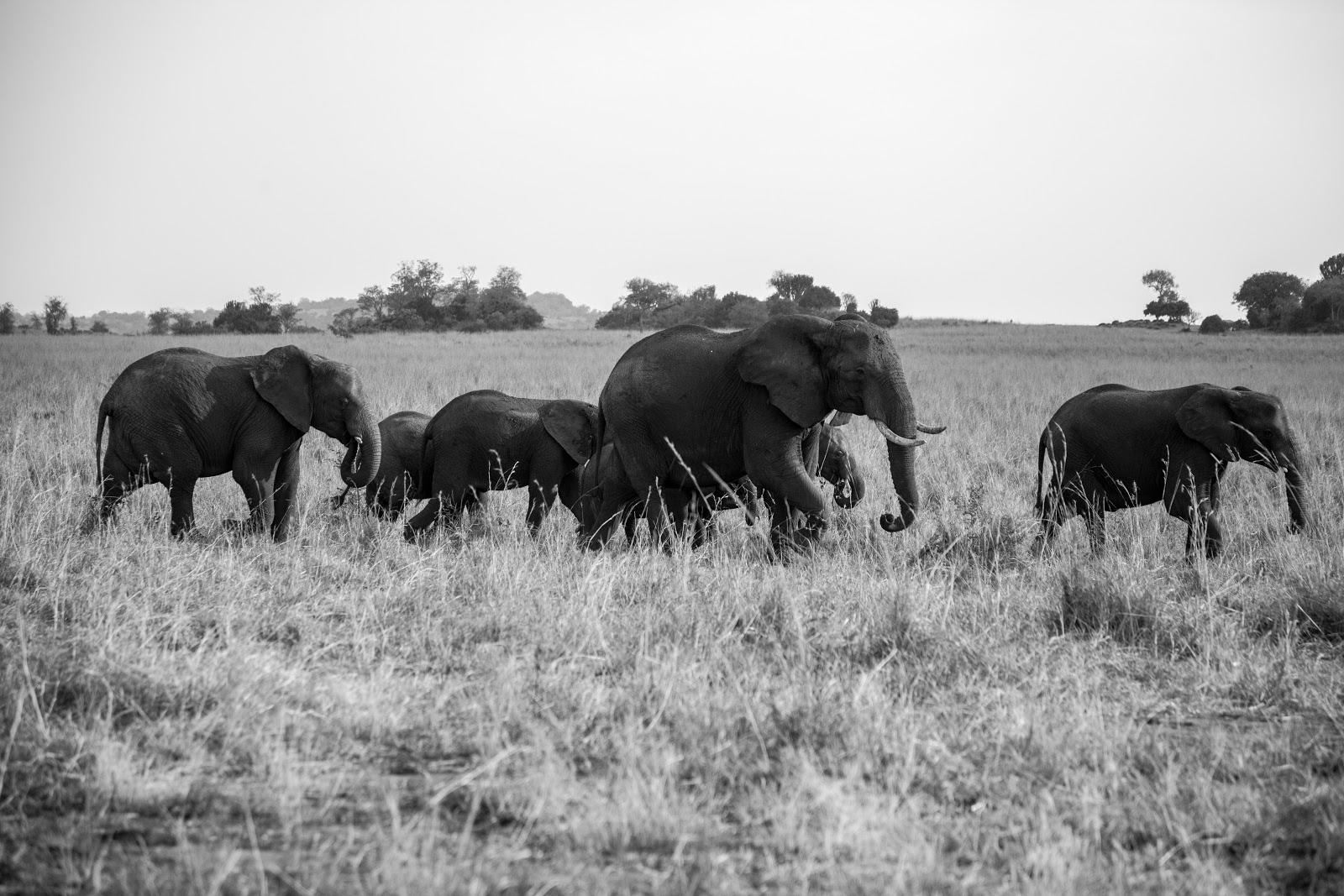 image of a small herd of elephants walking