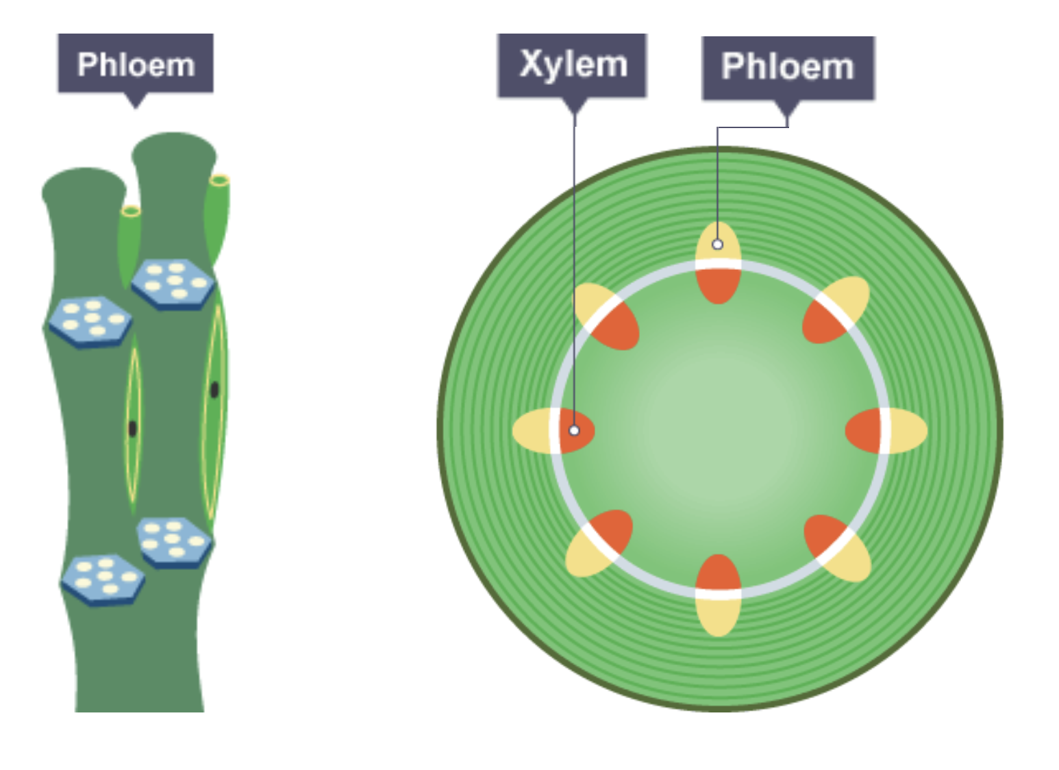 Igcse Biology Notes  2 51  Describe The Role Of Phloem In